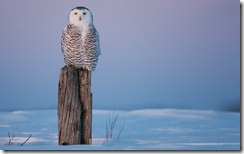 Snowy Owl Perched on Fence Post in Winter, Canada