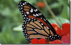 Monarch butterfly on a red zinnia