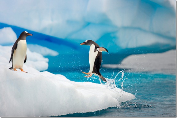 Sociable birds, Gentoo penguins (Pygoscelis papua) on floating iceberg, one jumping out of sea  to join other birds, Gerlache Passage,   Antarctic Peninsula, Southern Ocean, Antarctica