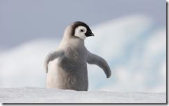 Emperor Penguin Chick in Antarctica, Snow Hill Island, Antarctica