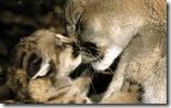 Female Cougar (Puma concolor) grooms 5-week-old kitten, Montana, U.S.