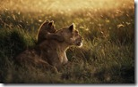 African Lion (Panthera leo) mother with cub at dawn, Serengeti National Park, Tanzania