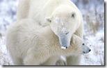 Polar Bear (Ursus maritimus) mother with cub, Churchill, Manitoba, Canada