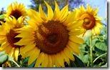 सूरजमुखी (Sunflower), Kurnool-Chittor Highway, Andhra Pradesh, India