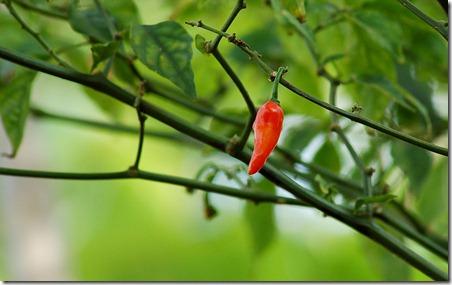 चरपरी तेज़ लाल मिर्च (Red Hot Chili Pepper), Kerala, India