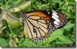रस पीती हुई तितली (Butterfly Drinking Nectar), Kerala, India