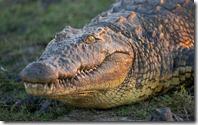 Nile Crocodile (Crocodylus niloticus), Chobe National Park, Botswana