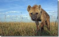 Spotted hyena adolescent, Maasai Mara, Kenya