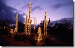 Saguaro cacti decorated with Christmas lights, Sonoran Desert, Tucson, Arizona, USA