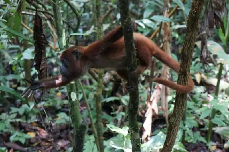 Bruno, singe écureuil recueilli au refuge dans la jungle (Amazonie, Pérou).