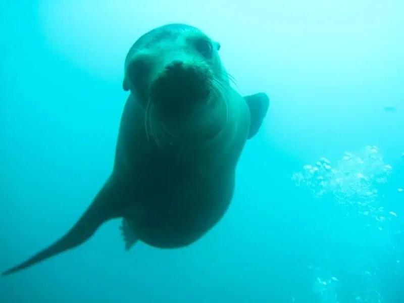Lion de mer venu me dire bonjour !