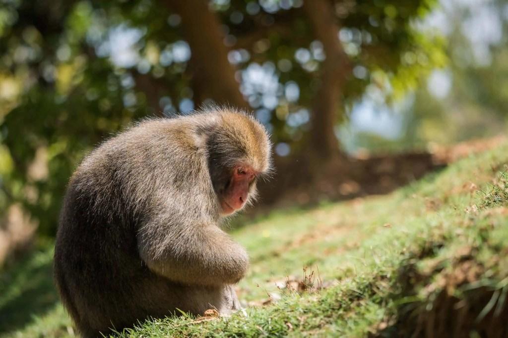 Japon, voyage, Arashiyama, Kyoto, bambou, singe, macaque, Iwatayama