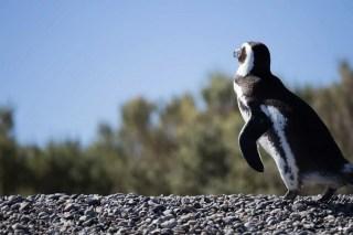 manchot de magellan, patagonie