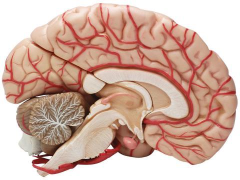 8-mitos-sobre-el-cerebro-3