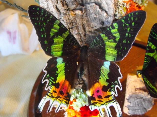 sunset moth