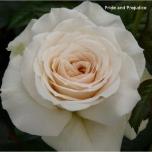 Pride and Prejudice Rose