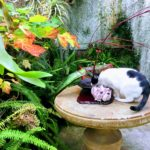 cat drinking out of ikebana dish at the Shelldance Orchid Gardens
