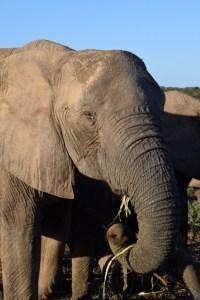 Afrique du Sud (452) (Large)