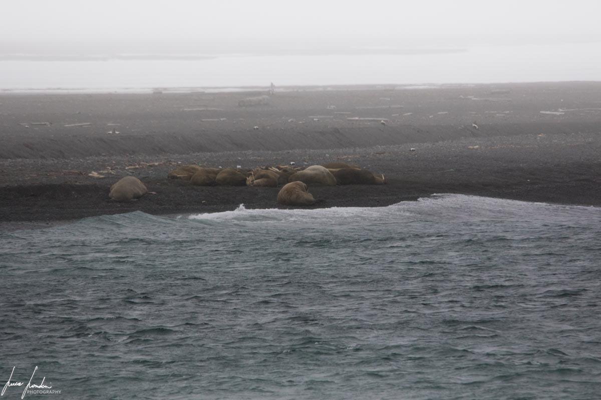 Crociera alle Svalbard: i trchichechi dell'isola di Moffen