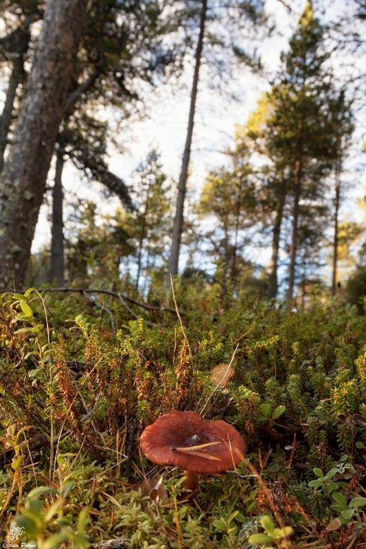 Escursioni in Lapponia: Mushroom
