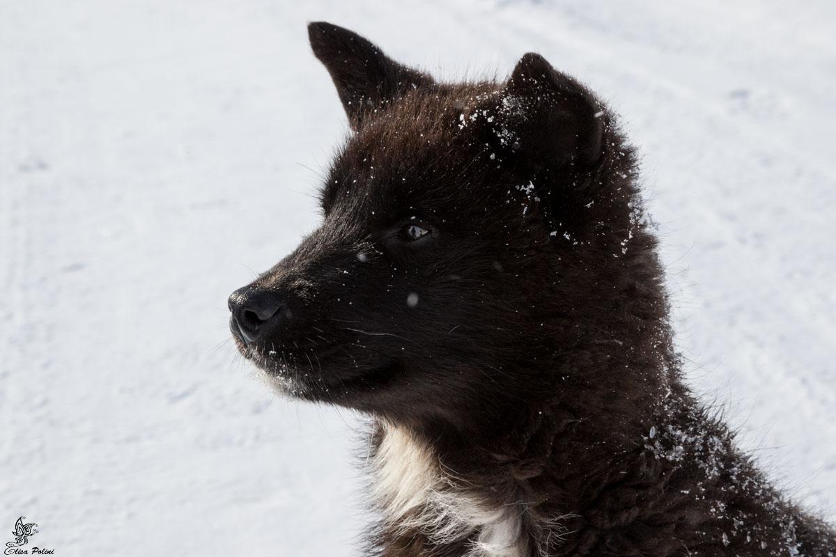 Dog sledding in Groenlandia: Husky groenlandese