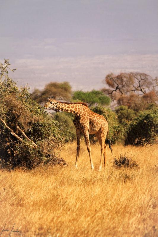Safari in Kenya: giraffa