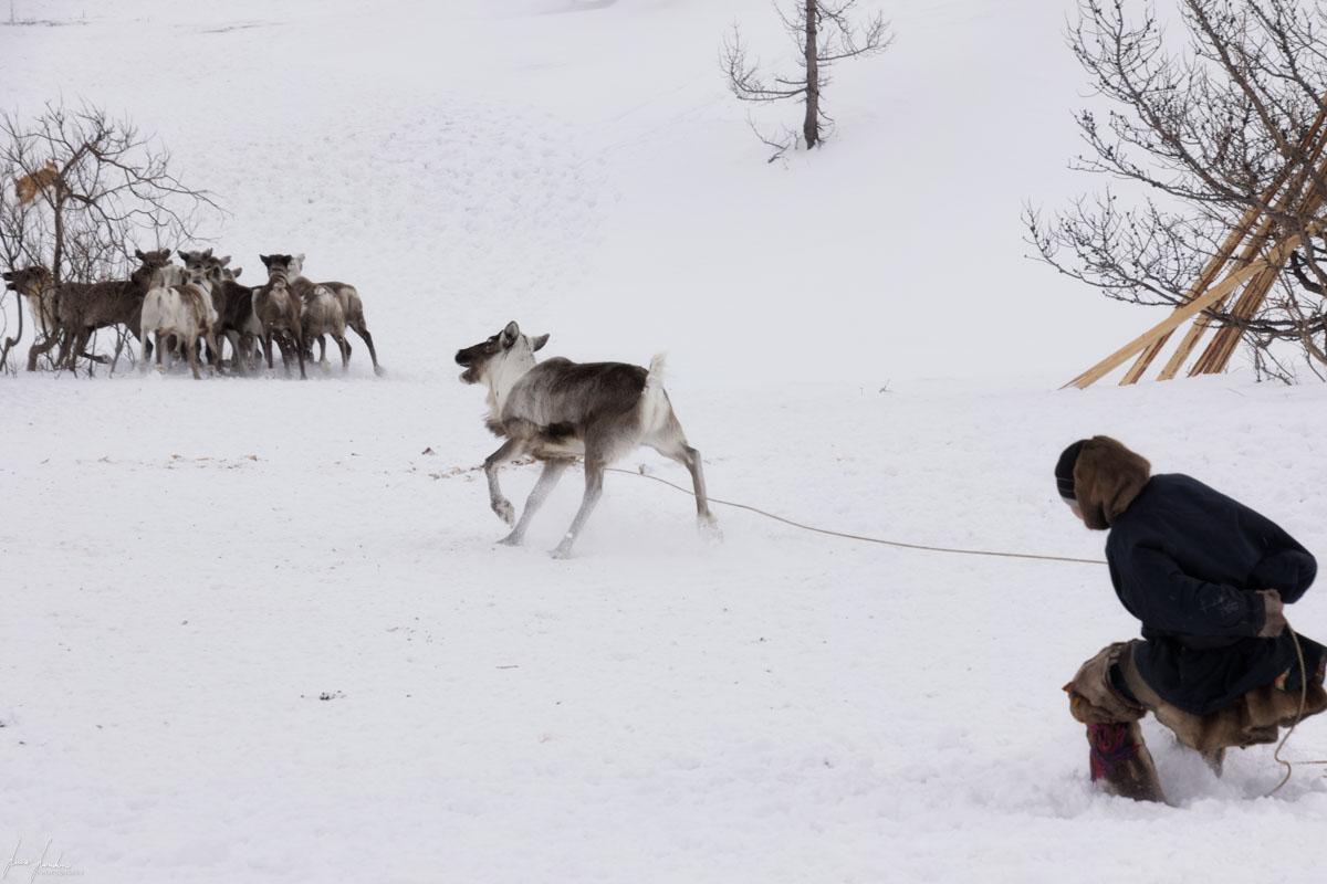 Nenets della Siberia: il momento della cattura delle renne con il lazo