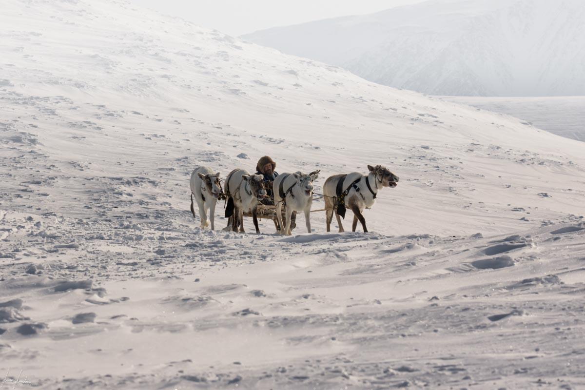 Nenets della Siberia: la slitta trainata dalle renne