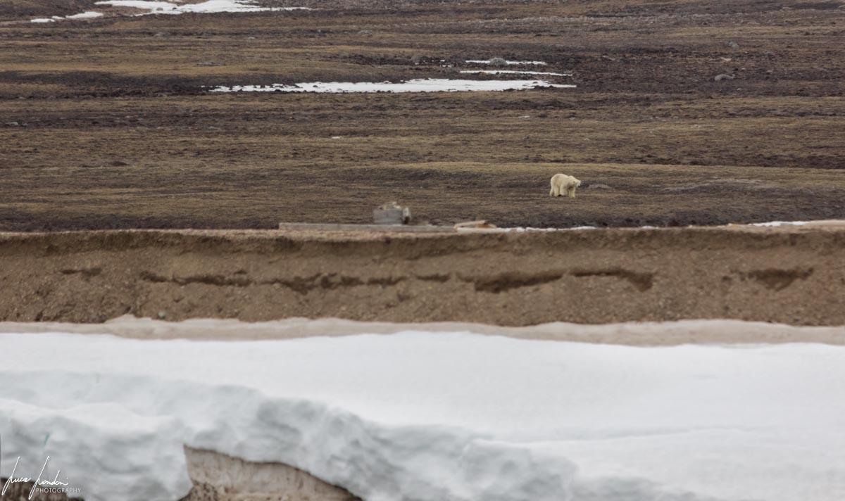 Pyramiden: Orso Polare
