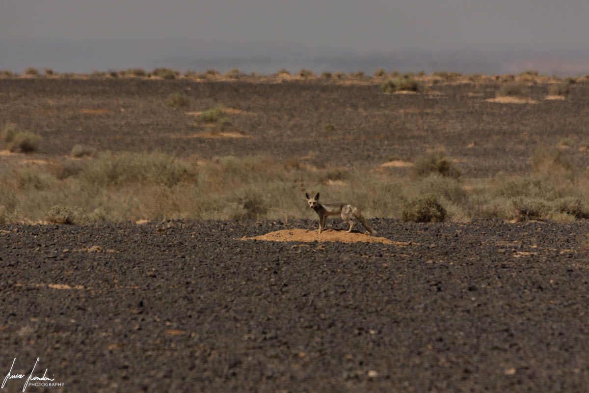 Giordania: volpe grigia, Riserva Naturale di Shaumari