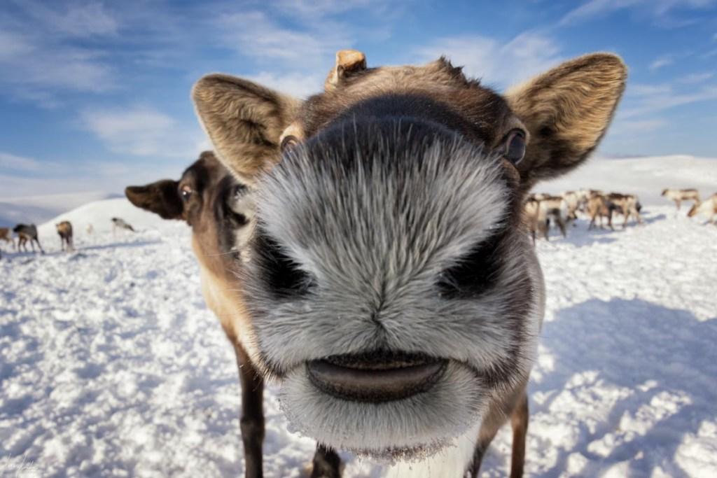 Siberia: renne, renne ovunque!