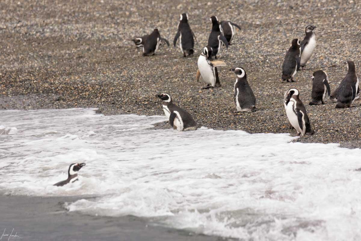 Canale di Beagle: Pinguini Gentoo e Magellano alla Pinguineria