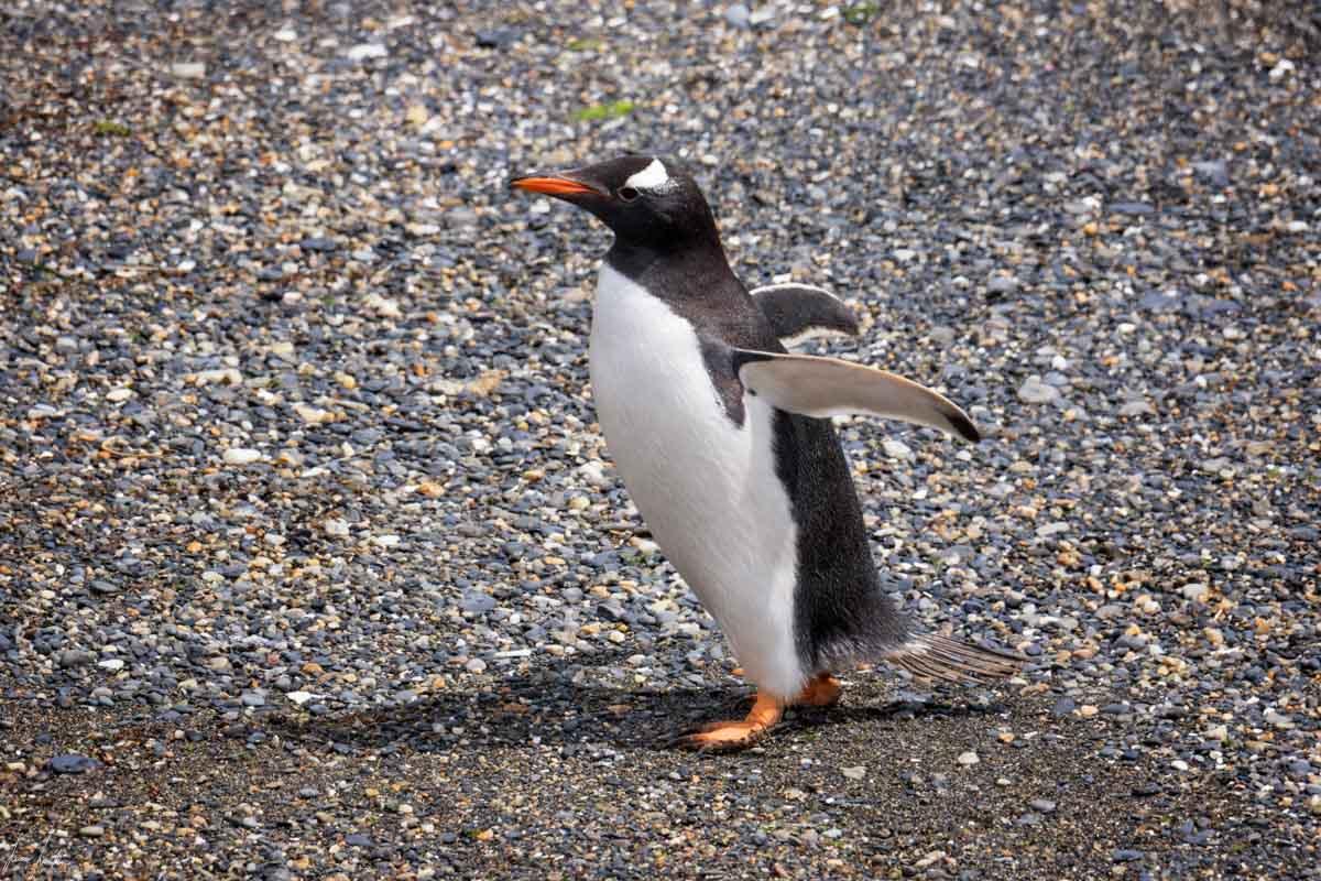 Canale di Beagle: Pinguino Gentoo alla Pinguineria