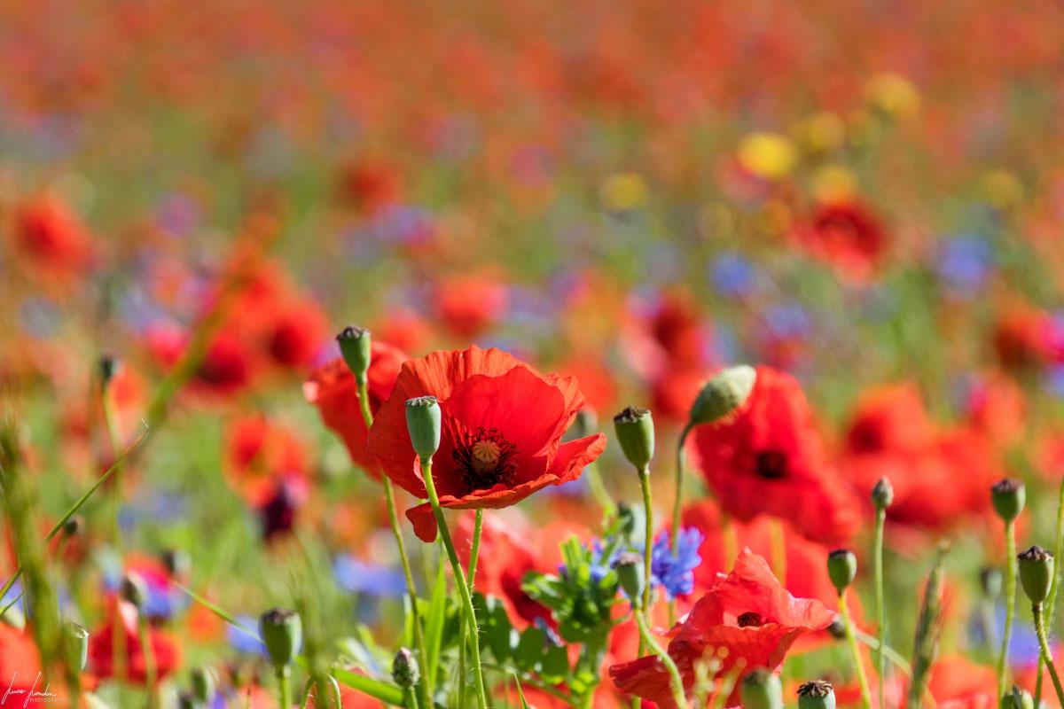 Fioritura di Castelluccio di Norcia: i fiori iinfestanti