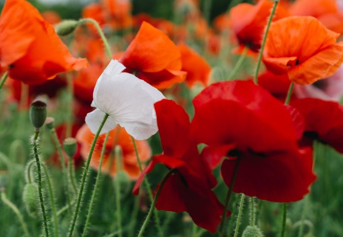 Red poppies, and one white poppy, in a field.