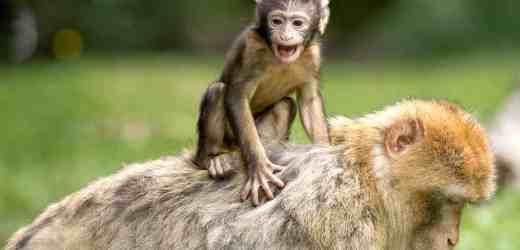 神奇印度 猴子給小狗當媽 奇怪組合 感動世界(組圖)