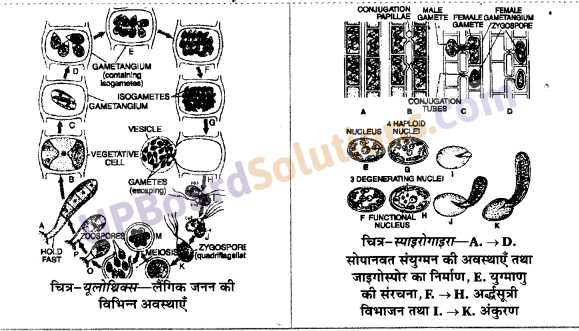 साइकस का जीवन चक्र UP Board Solutions For Class 11 Biology Chapter 3