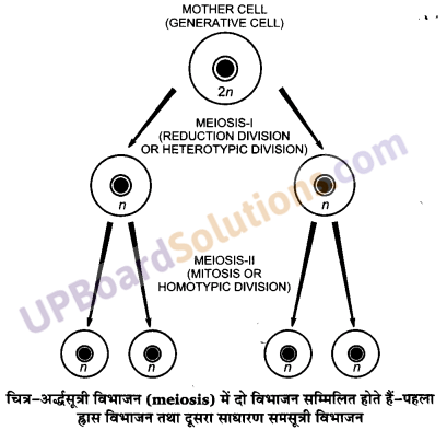 UP Board Solutions for Class 11 Biology Chapter 10 Cell Cycle And Cell Division image 4