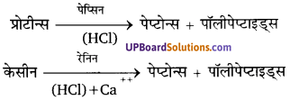 UP Board Solutions for Class 11 Biology Chapter 16 Digestion and Absorption image 2