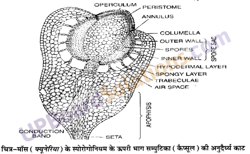 UP Board Solutions for Class 11 Biology Chapter 3 Plant Kingdomimage 14