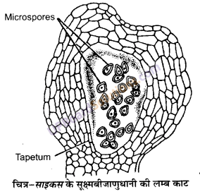 UP Board Solutions for Class 11 Biology Chapter 3 Plant Kingdomimage 16