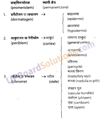 UP Board Solutions for Class 11 Biology Chapter 6 Anatomy of Flowering Plants image 13