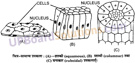 UP Board Solutions for Class 11 Biology Chapter 7 Structural Organisation in Animalsimage 7
