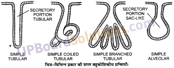 UP Board Solutions for Class 11 Biology Chapter 7 Structural Organisation in Animalsimage 10