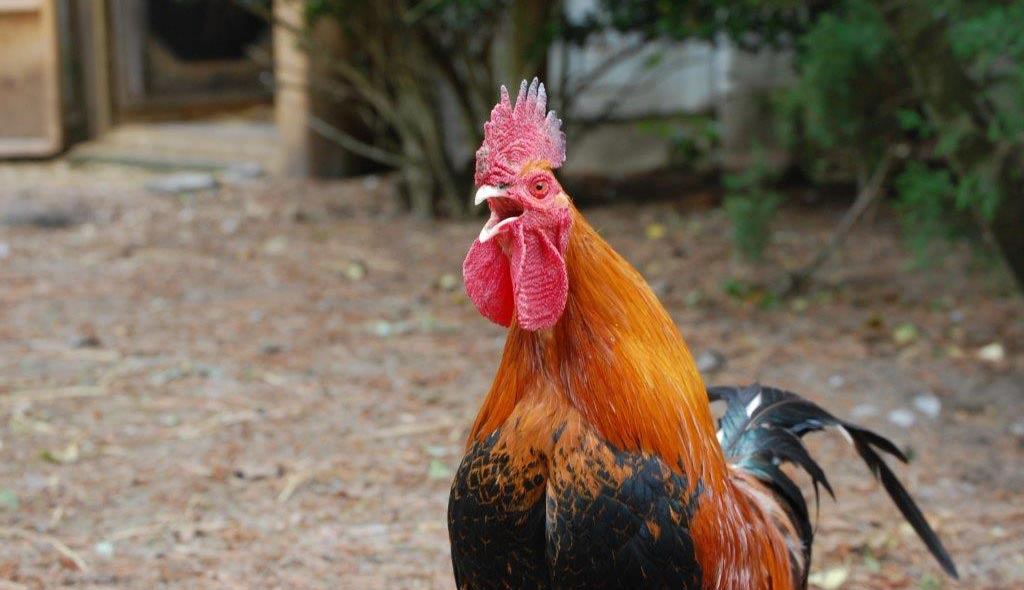 Rhubarb the rooster crowing