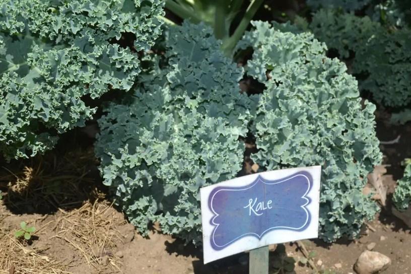kale, garden
