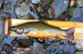 Brook trout_1557446542019.JPG.jpg
