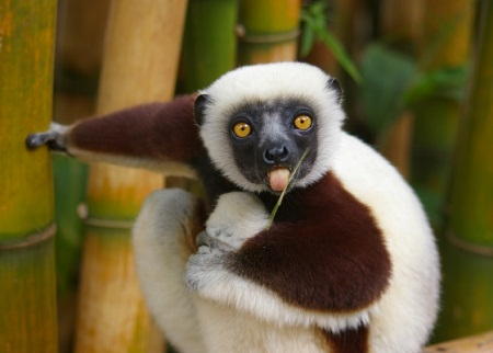 pictures of cute baby animals - tbbbbppppft lemur