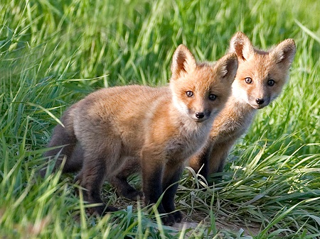 pictures of cute baby animals - red fox pups