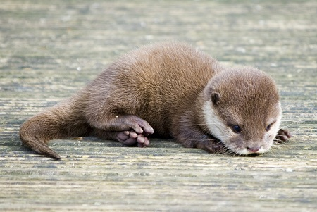 pictures of cute baby animals - little baby otter